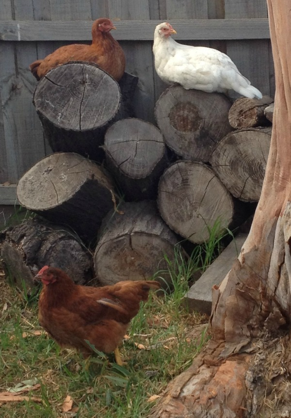 chickens chilling