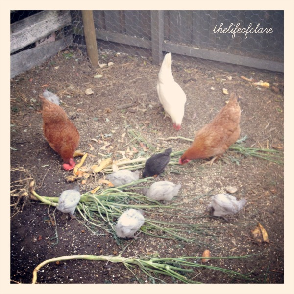 integrating chickens