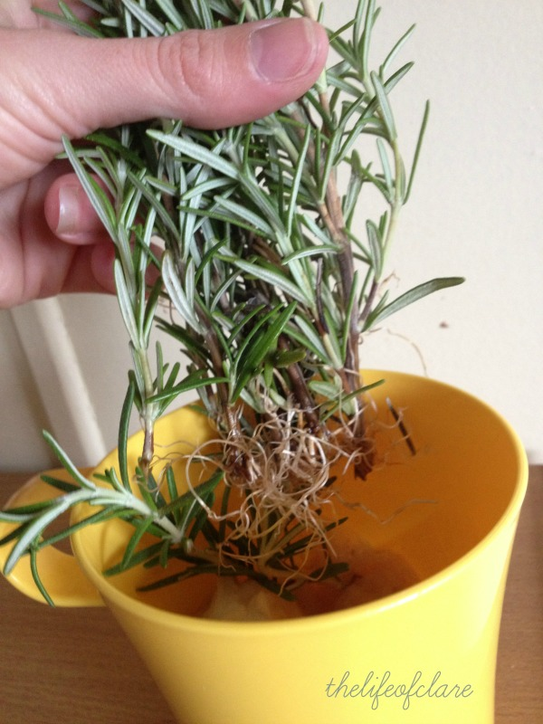 roots on rosemary cuttings