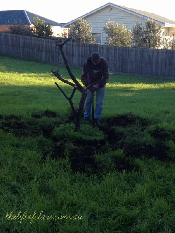 digging out the peach tree